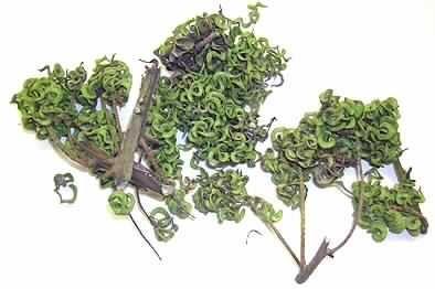 WAREN PFLANZLICHEN URSPRUNGS > LEBENDE PFLANZEN UND WAREN DES BLUMENHANDELS > Blattwerk, Blätter, Zweige und andere Pflanzenteile,