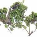 Acacia auriculiformis, - unreifer Samenstand von Acacia auriculiformis (Akazie) auf einem Zweig ohne Blätter und Blüten, - offensichtlich nur getrocknet, nicht weiter bearbeitet, - lt. Antragsteller...