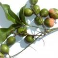 ovoce; čerstvé; malé; zelené; větev, větve; jako koule