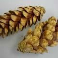 Kiefernzapfen - lediglich getrocknete Zapfenfrüchte der Weymouth-Kiefer (Pinus Strobus, lt. Antrag) von   hell- und dunkelbrauner Farbe mit teilweise noch anhaftendem Pflanzenharz, in   unterschiedlichen...